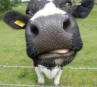 cow nose