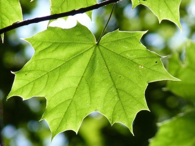 maple-leaf-888807_1920
